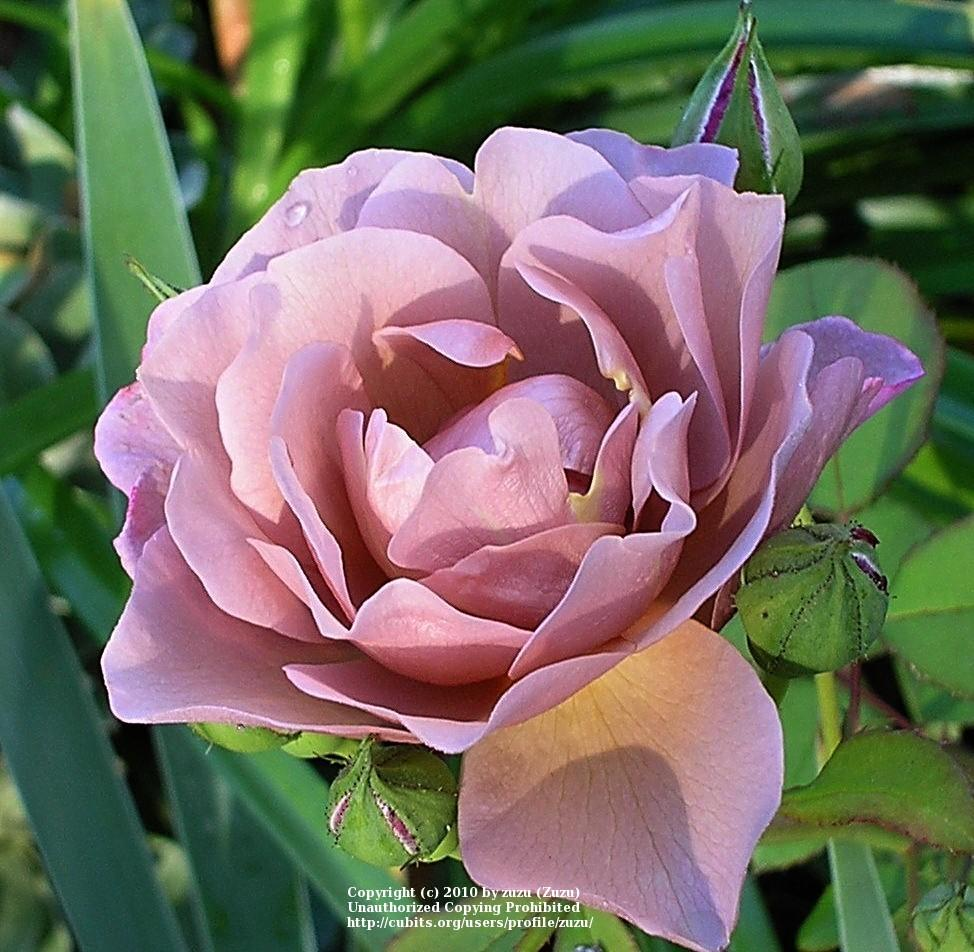 Photo of Rose (Rosa 'Lavender Pinocchio') uploaded by zuzu