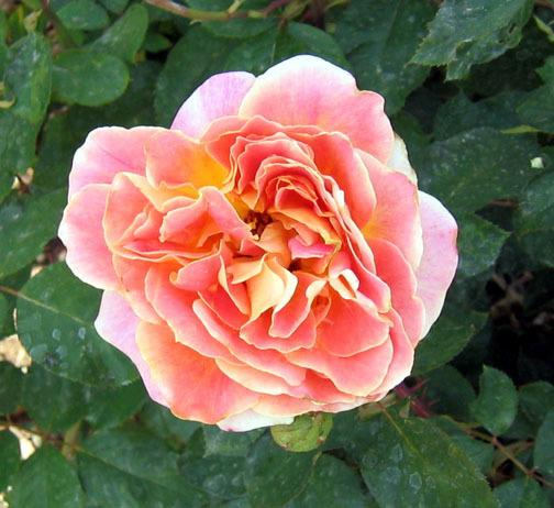 Photo of Rose (Rosa 'Calico') uploaded by GardenGuyAZ