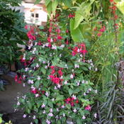 Impatiens balfourii with Fuchsia 'Cardinal'. Photo take