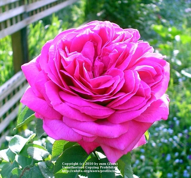 Photo of Rose (Rosa 'Madame Isaac Pereire') uploaded by zuzu