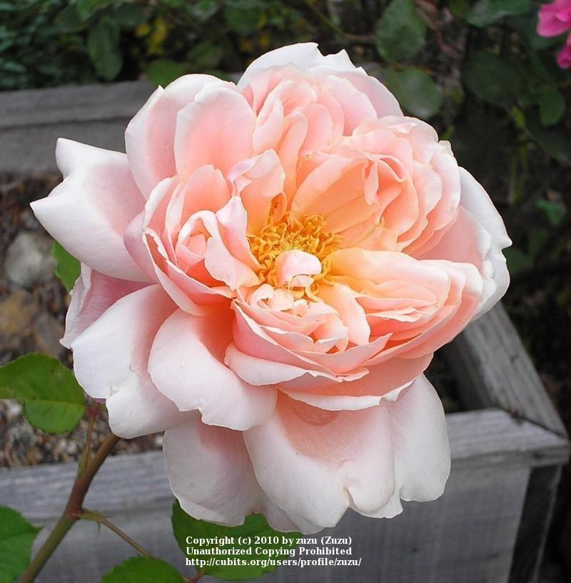 Photo of Rose (Rosa 'Nellie E. Hillock') uploaded by zuzu