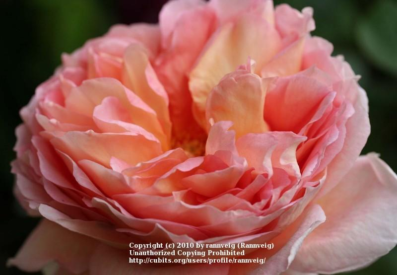 Photo of Rose (Rosa 'Abraham Darby') uploaded by rannveig