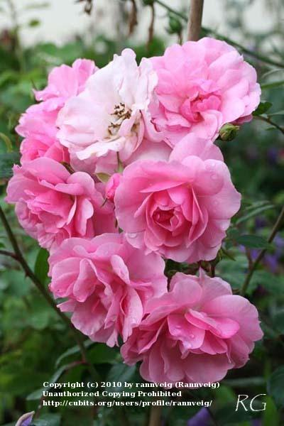 Photo of Rose (Rosa 'Bonica') uploaded by rannveig