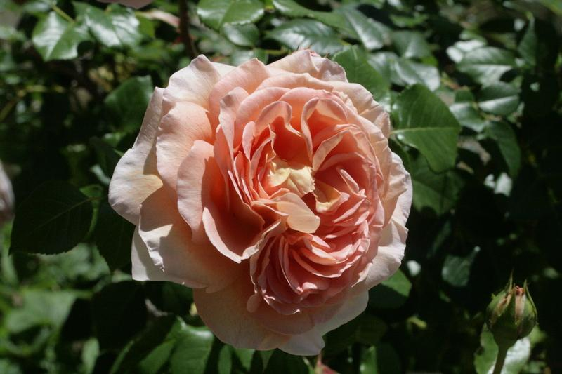 Photo of Rose (Rosa 'Abraham Darby') uploaded by CLUSIANA
