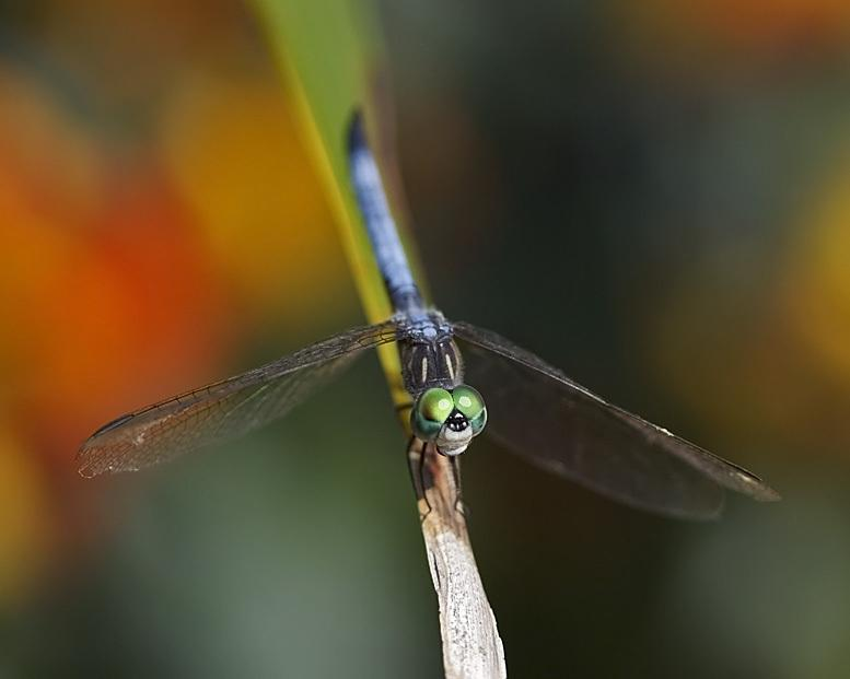 Roses forum: Butterflies and Dragonflies of the Outer Banks - Garden org