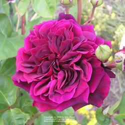 An Explanation of Rose Shapes and Types - Garden.org