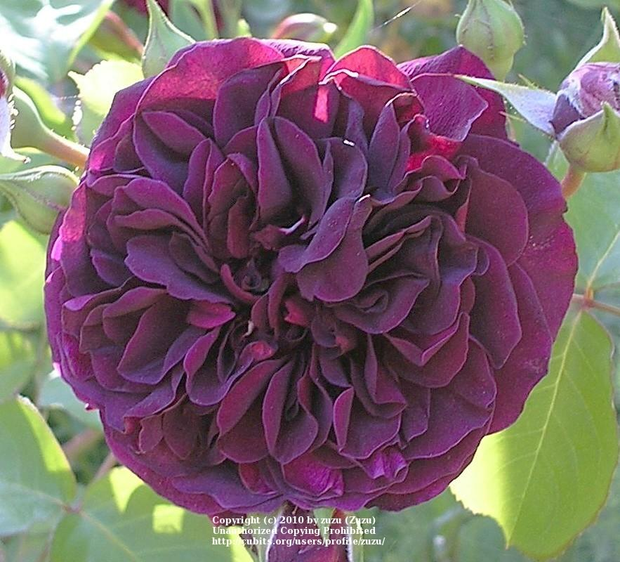 Photo of Rose (Rosa 'Tradescant') uploaded by zuzu