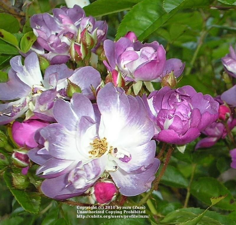 Photo of Rose (Rosa 'Veilchenblau') uploaded by zuzu