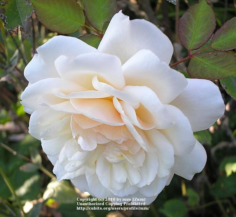 Photo of Rose (Rosa 'Winchester Cathedral') uploaded by zuzu