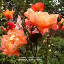 the top 25 roses selected by atp members. Black Bedroom Furniture Sets. Home Design Ideas
