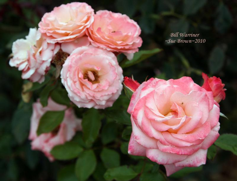 Photo of Rose (Rosa 'Bill Warriner') uploaded by Calif_Sue