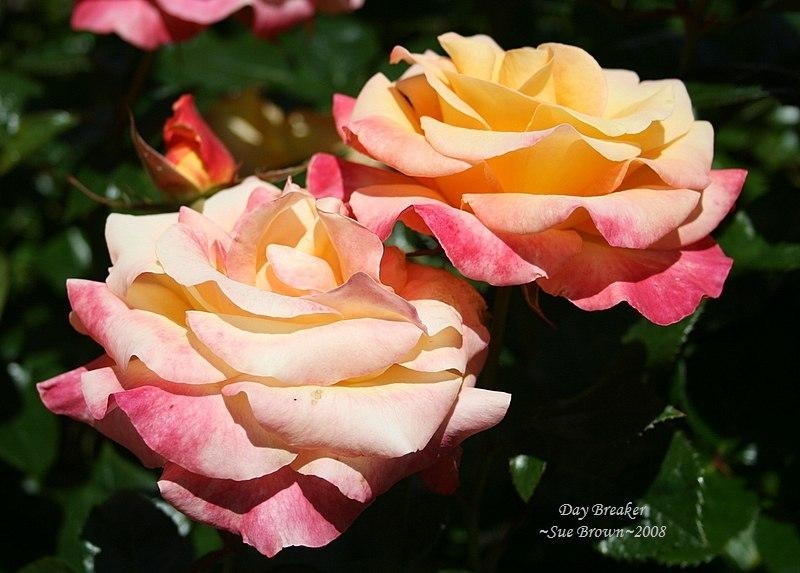 Photo of Rose (Rosa 'Day Breaker') uploaded by Calif_Sue