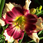 Everyone that sees it, loves this daylily.