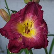 I love the saturated color of this daylily.