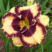 "Hemerocallis /""Open My Eyes/"" taglilie"