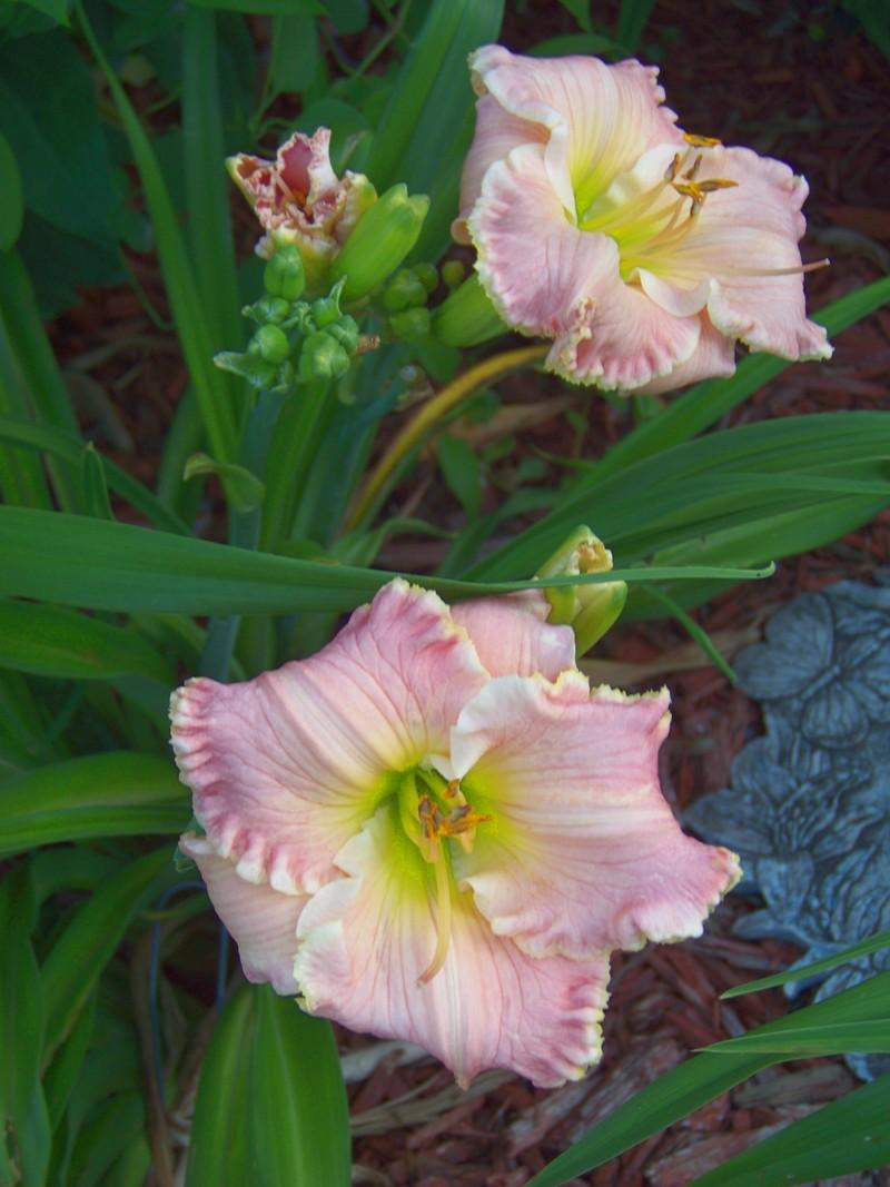 Photo of Daylily (Hemerocallis 'American Doll') uploaded by mattsmom