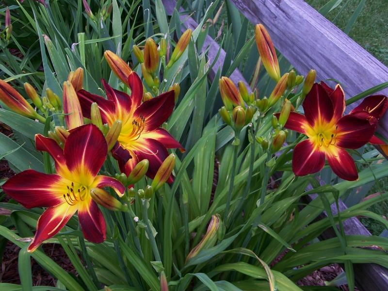 Photo of Daylily (Hemerocallis 'Ruby Spider') uploaded by mattsmom