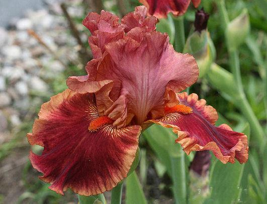Photo of Tall Bearded Iris (Iris 'Drinks at Sunset') uploaded by MShadow