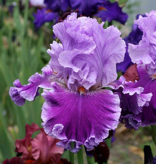 Photo of Tall Bearded Iris (Iris 'Louisa's Song') uploaded by MShadow