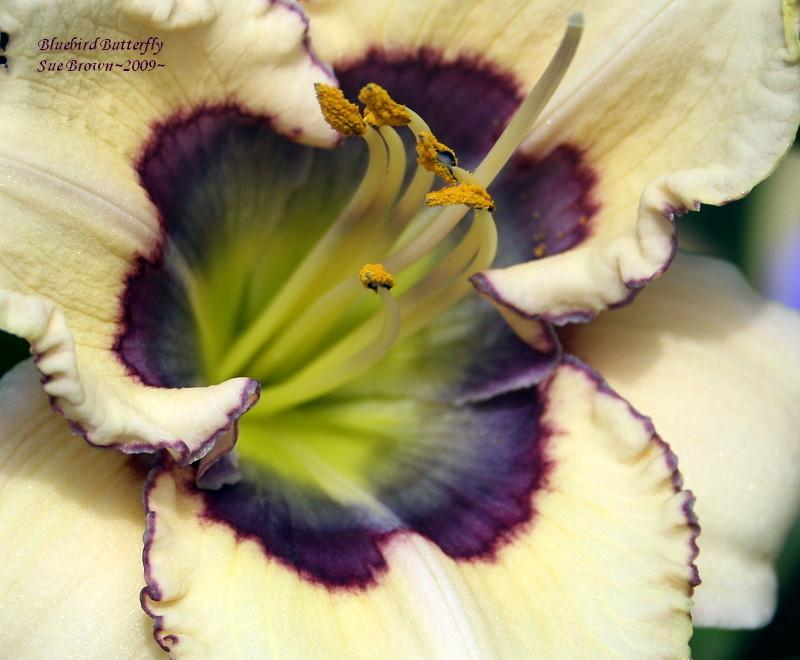 Photo of Daylily (Hemerocallis 'Bluebird Butterfly') uploaded by Calif_Sue