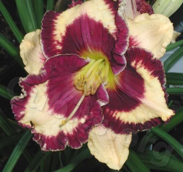Photo of Daylily (Hemerocallis 'Open My Eyes') uploaded by Calif_Sue