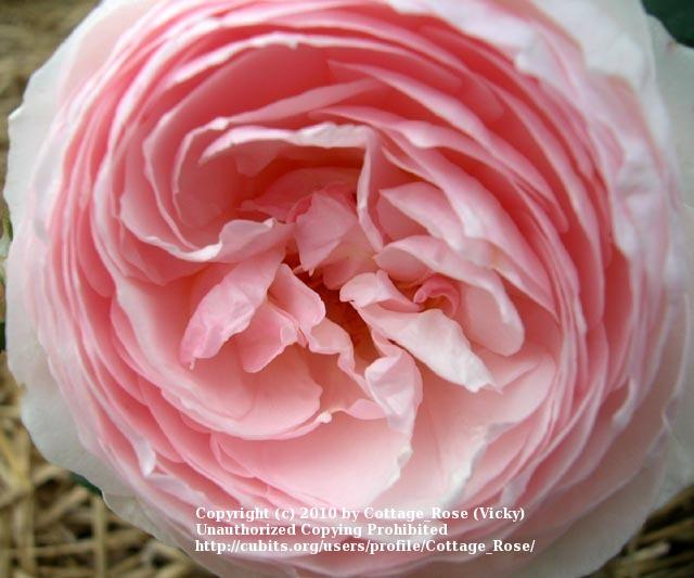 Photo of Rose (Rosa 'Heritage') uploaded by Cottage_Rose