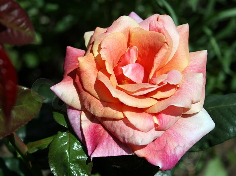 Photo of Rose (Rosa 'Autumn') uploaded by Calif_Sue