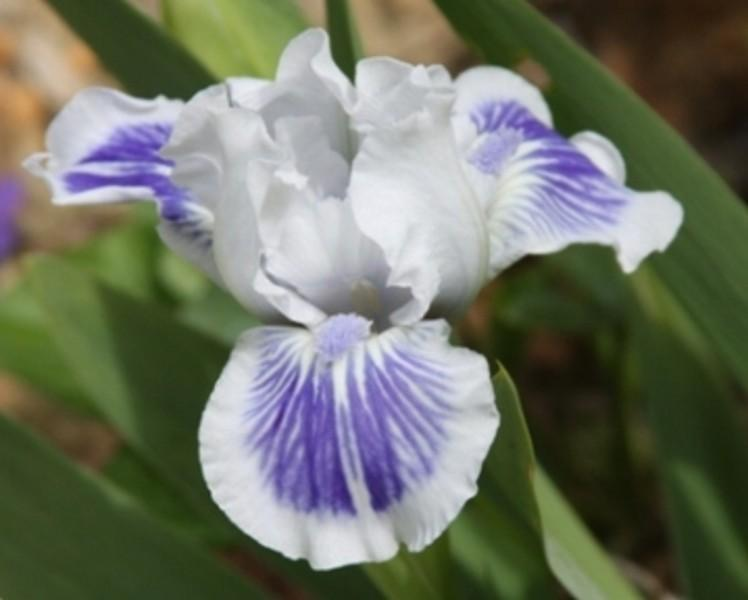 Photo of Standard Dwarf Bearded Iris (Iris 'Big Blue Eyes') uploaded by avmoran