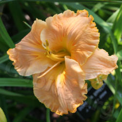 Thumb of 2011-01-10/daylily/10c4a2