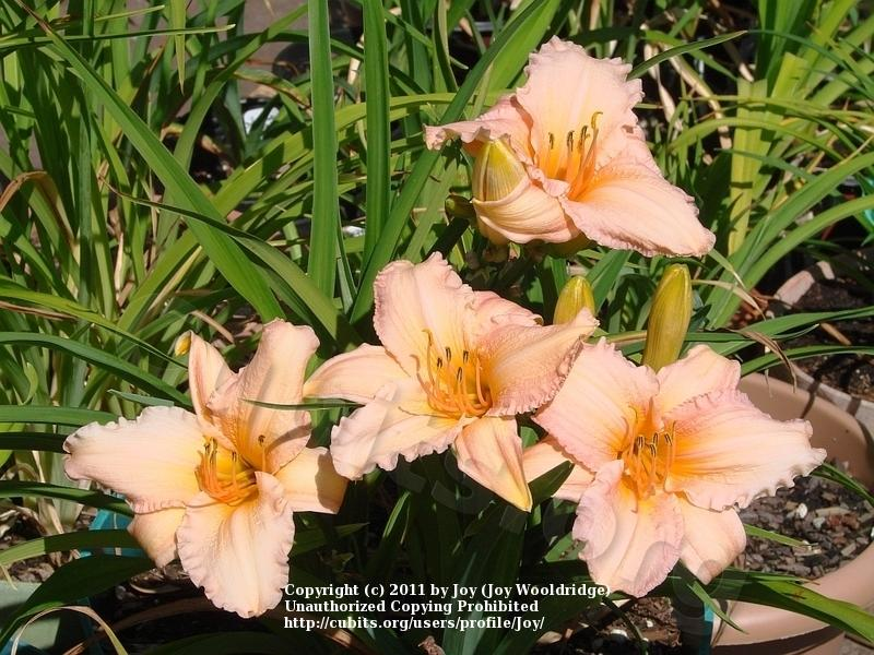 Photo of Daylily (Hemerocallis 'Pink Embers') uploaded by Joy