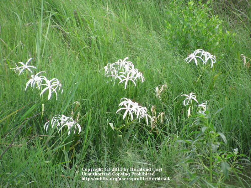 Photo of Crinum Lily (Crinum americanum) uploaded by Horntoad