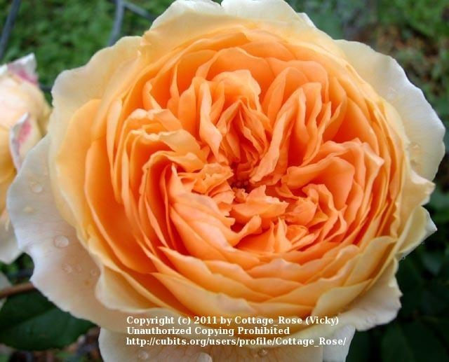 Photo of Rose (Rosa 'Crown Princess Margareta') uploaded by Cottage_Rose