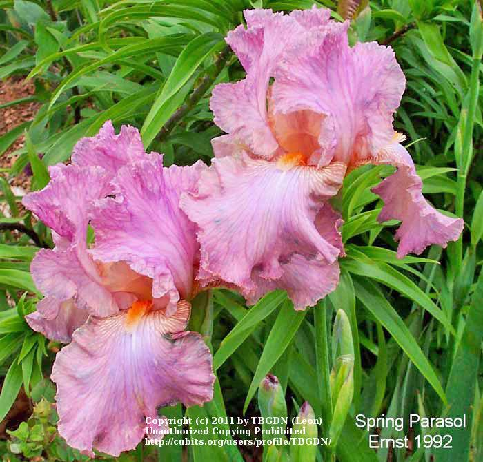 Marvelous Photo Of The Bloom Of Tall Bearded Iris Iris Spring Parasol  With Gorgeous Photo Of Tall Bearded Iris Iris Spring Parasol Uploaded By Tbgdn With Delightful Jubilee Gardens Nursing Home Also Cheap Garden Storage Box In Addition Rocking Chair Garden And Wisley Garden Shop As Well As Peking Gardens Dartford Additionally Garden Building Design Ideas From Gardenorg With   Gorgeous Photo Of The Bloom Of Tall Bearded Iris Iris Spring Parasol  With Delightful Photo Of Tall Bearded Iris Iris Spring Parasol Uploaded By Tbgdn And Marvelous Jubilee Gardens Nursing Home Also Cheap Garden Storage Box In Addition Rocking Chair Garden From Gardenorg