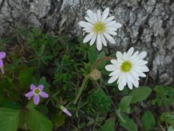Thumb of 2011-04-08/wildflowers/1ca4df