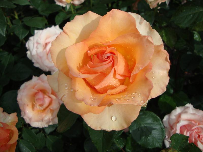 Photo of Rose (Rosa 'Sunstruck') uploaded by Paul2032