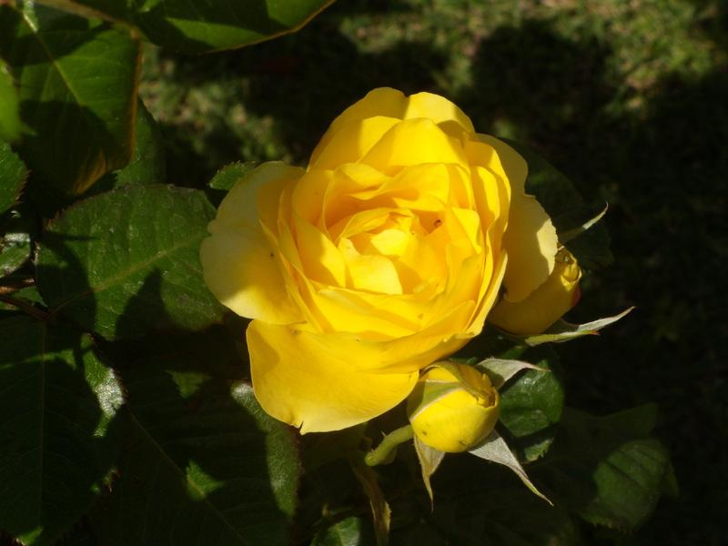 Walking-on-Sunshine-rose