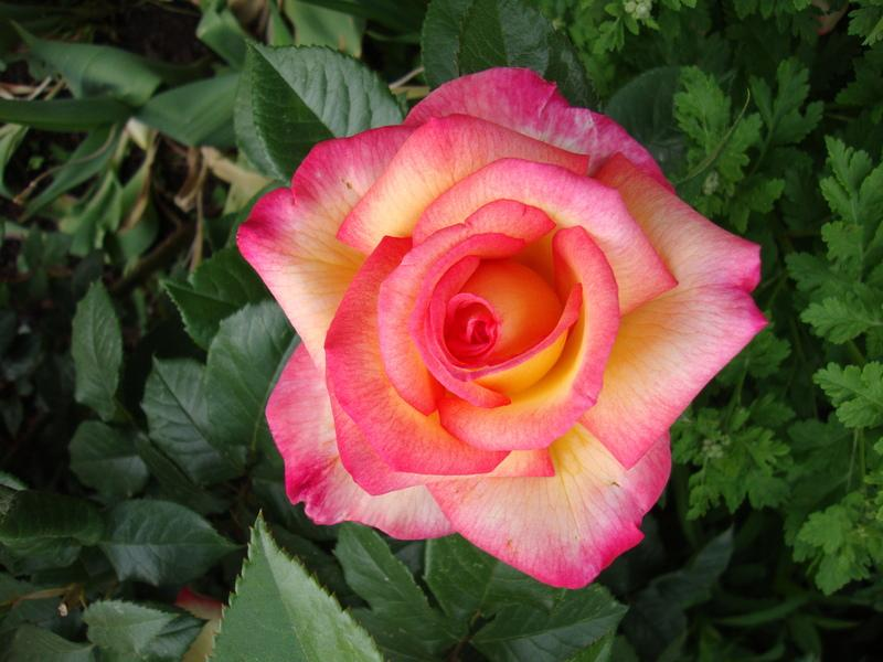 Photo of Rose (Rosa 'Sheila's Perfume') uploaded by Paul2032