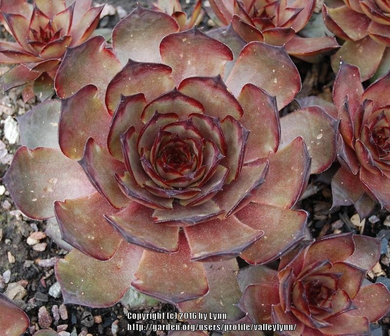 Photo of Hen and Chicks (Sempervivum tectorum 'Grammens') uploaded by valleylynn
