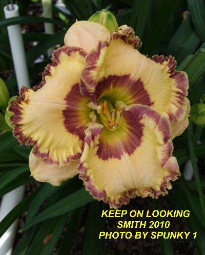 Photo of Daylily (Hemerocallis 'Keep on Looking') uploaded by spunky1