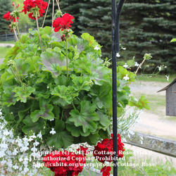 Thumb of 2011-05-21/Cottage_Rose/57b1ba