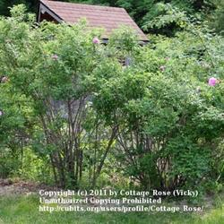 Thumb of 2011-06-03/Cottage_Rose/fca6e4