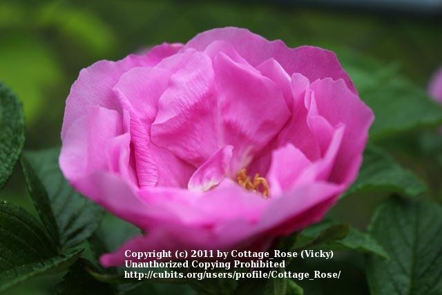 Photo of Rose (Rosa 'Buffalo Gal') uploaded by Cottage_Rose