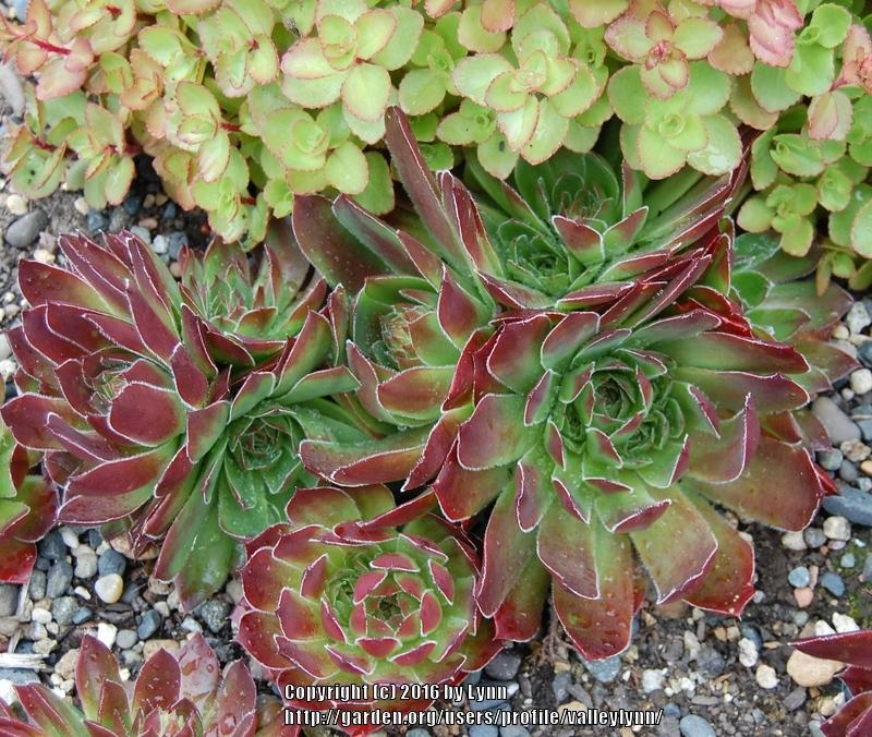 Photo of Job's Beard (Sempervivum heuffelii 'Bronze Ingot') uploaded by valleylynn
