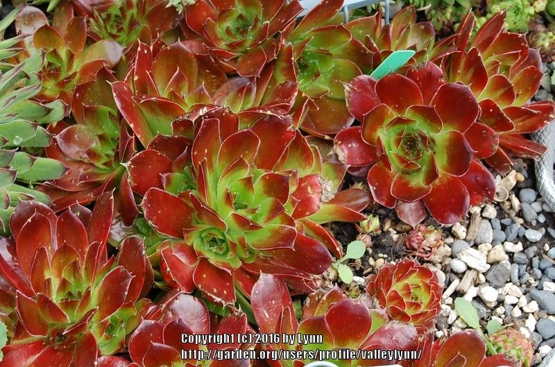 Photo Of The Entire Plant Of Job 39 S Beard Sempervivum