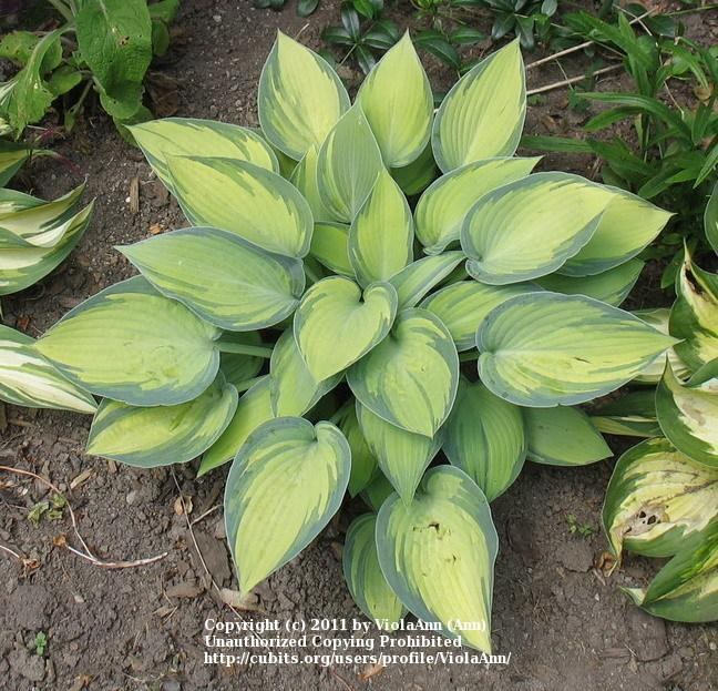 Photo of Hosta (Hosta 'June') uploaded by ViolaAnn