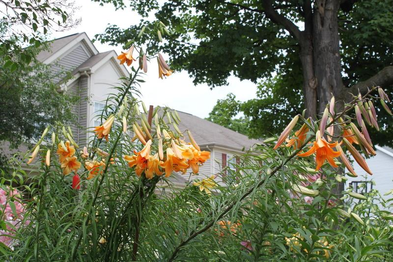Photo of Lily (Lilium 'African Queen') uploaded by sgardener