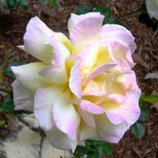 I love this rose.