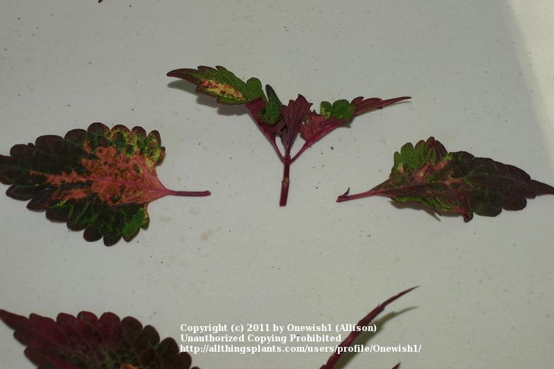 Asexual propagation of coleus