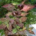 How To Grow Coleus from Cuttings