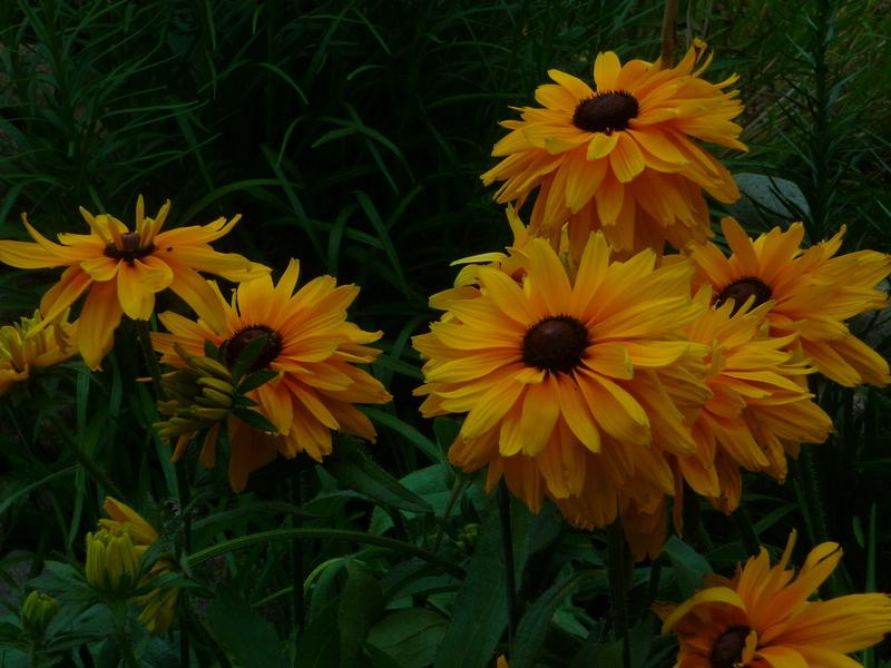 Photo of Black Eyed Susans (Rudbeckia) uploaded by huggergirl